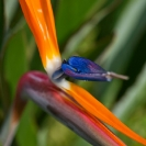 030_FP.5114VA-Bird-of-Paradise-Flower-Strelitzia-reginae