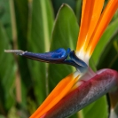 031_FP.5122VA-Bird-of-Paradise-Flower-Strelitzia-reginae