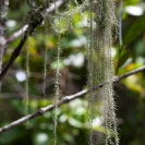 052_FPLi.4826V-Lichen-Old-Man's-Beard-Usnea-sp.