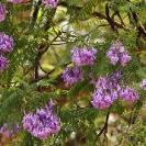 053_FT.2142-Jacaranda-mimosifolia
