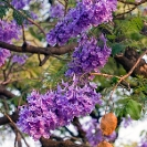 054_FT.9041V-Jacaranda-mimosifolia-flowers-&-fruit
