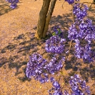 055_FT.9105V-Jacaranda-mimosifolia-from-above