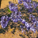 056_FT.9111-Jacaranda-mimosifolia-from-above