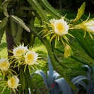 064_FP_97677-White-Pitaya-Queen-of-the-Night-Hylocereus-undatus