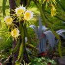 065_FP_97678V-White-Pitaya-Queen-of-the-Night-Hylocereus-undatus