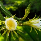 066_FP_97699-White-Pitaya-Queen-of-the-Night-Hylocereus-undatus