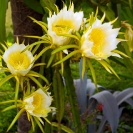 067_FP_97686V-White-Pitaya-Queen-of-the-Night-Hylocereus-undatus