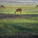 020_LZmE.1037-Grazing-Luangwa-Valley--E-Zambia