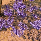 003_FT.9101-Jacaranda-mimosifolia-from-above