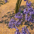 004_FT.9099V-Jacaranda-mimosifolia-from-above
