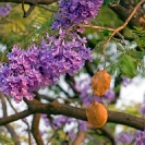 005_FT.9039-Jacaranda-mimosifolia-flowers-&-fruit