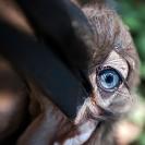 007_B29H.8403V-Southern-Ground-Hornbill-fledgling-eye