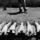 013_UAf.0295BW-Cows'-Feet-Zambia
