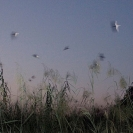 001_B33.0670-Migrating-European-Swallows-at-African-Night-Roost