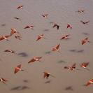 002_B27C.0648-Carmine-Bee-eaters-in-Flight-Merops-nubicoides