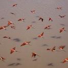 002_B27C.0648-Carmine-Bee-eaters-in-Flight-Merops-nubicoides