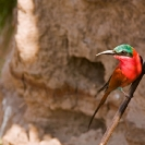003_B27C.0626-Carmine-Bee-eater-at-Riverbank-Nest-Site
