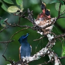 004_B39F.3V-African-Paradise-Flycatcher-female-feeding-nestlings