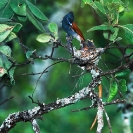 005_B39F.5-African-Paradise-Flycatcher-male-at-nest-Terpsiphone-viridis
