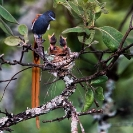 006_B39F.6-African-Paradise-Flycatcher-male-at-nest-Terpsiphone-viridis-