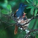 007_B39F.11V-African-Paradise-Flycatcherfe-male-at-nest-Terpsiphone-viridis