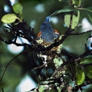 008_B39F.19-African-Paradise-Flycatcher-female-sheltering-nestlings-in-rain