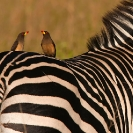 010_B42O.0756-Yellow-billed-Oxpeckers-on-Zebra-close-up2-Buphagus-africanus-