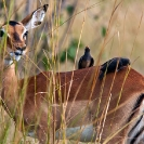 011_B42O.0847-Red-billed-Oxpeckers-on-Impala-Buphagus-erythrorhynchus