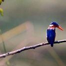 012_B28.44-Malachite-Kingfisher-Alcedo-cristata