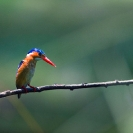 013_B28.45-Malachite-Kingfisher-Alcedo-cristata