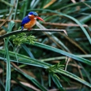 014_B28.57-Malachite-Kingfisher-Alcedo-cristata