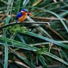 014_B28.57-Malachite-Kingfisher-Alcedo-cristata