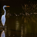 015_B5.0854-Great-White-Egret