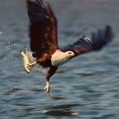 016_B11F.214A-African-Fish-Eagle-action
