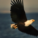 017_B11F.239-African-Fish-Eagle-action