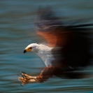 018_B11F.1039A-African-Fish-Eagle-action