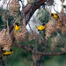 022_B44W.0713.10-African-Village-Weaver-males-nest-building