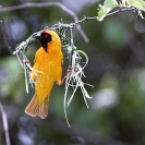 023_B44W.50-Masked-Weaver-male-nest-building