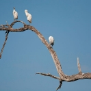 027_B5.1111-Cattle-Egrets