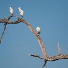027_B5.1111-Cattle-Egrets