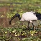 028_B7I.0801-Sacred-Ibis-Catching-Fish-Threskiornis-aethiopicus