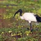 029_B7I.0802-Sacred-Ibis-in-Breeding-Plumage-Threskiornis-aethiopicus