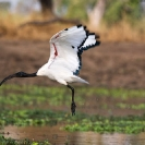 032_B7I.0820-Sacred-Ibis-in-Flight-Threskiornis-aethiopicus
