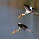 033_B7S.0683-Yellowbilled-Storks-in-Flight-Mycteria-ibis
