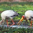 035_B7S.0790-Yellowbilled-Storks-Feeding-Mycteria-ibis