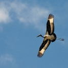 038_B7S.0828-Saddlebilled-Stork-in-Flight-Ephippiorhynchus-senegalensis