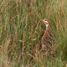 046_B14F.31-Nyika-Red-winged-Francolin
