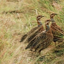 047_B14F.42-Nyika-Red-winged-Francolin