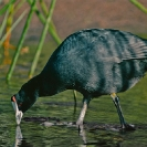048_B16C.14-African-Red-knobbed-Coot