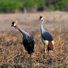049_B17C.1186V-Southern-Crowned-Cranes-Balearica-regulorum